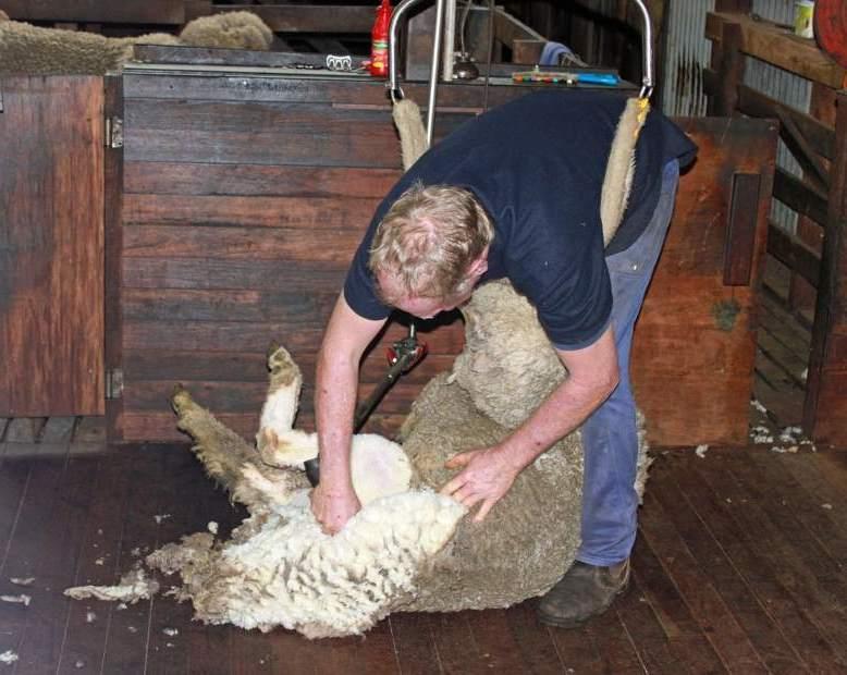 All-Ireland Sheep Shearing